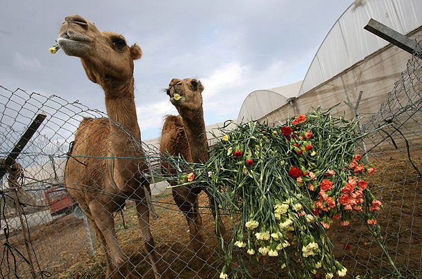 Camels feed on carnations on a farm in Rafah, in the Gaza Strip. Palestinian farmers had to dispose of part of their flower crop, a product grown almost exclusively for export, due to the Israeli blockade.