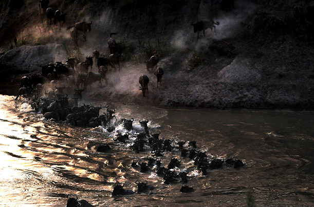 Wildebeests fight the current of the Mara River during their annual migration through the Massai Mara National park in Western Kenya