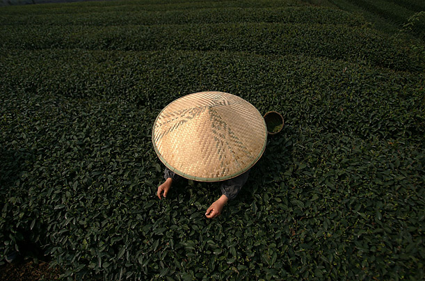 A farmer picks tea leaves at a plantation in western China.