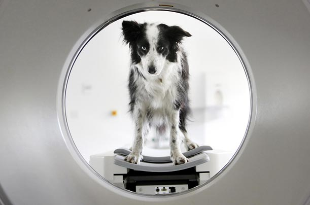 Scrooble the dog, who overcame cancer, looks through a CT scanner during a visit to the new treatment center