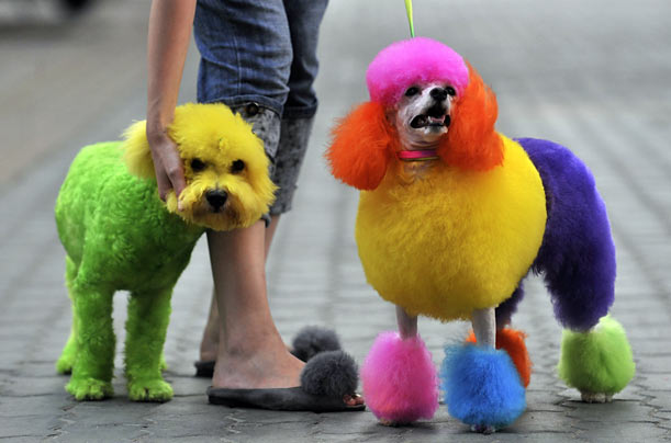 A woman takes a stroll with a bichon frise and a poodle, both colored with various dyes on a street in Wuhan, China.