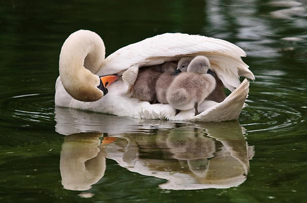 A doting mother swan takes her brood of six under her wing at Bicton Park Botanical Gardens, in Devon, England.