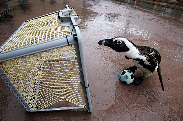 An African penguin prepares to kick a miniature soccer ball into the goal at the Hakkejima Sea Paradise aquarium in Yokohama, Japan.