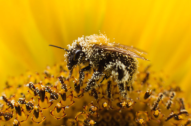 A bee collects pollen from a sunflower in Utrecht, the Netherlands.