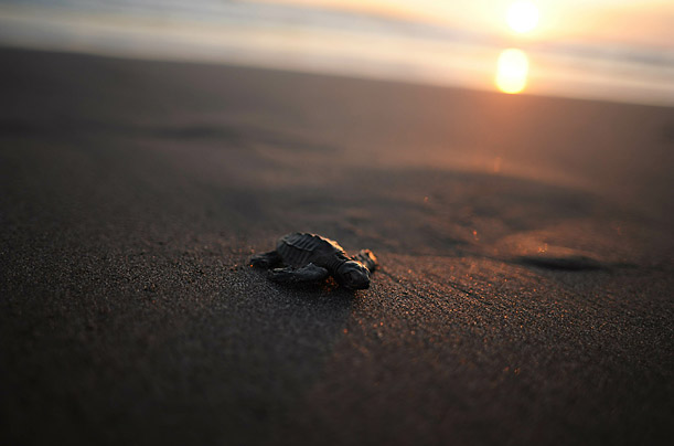 A baby Olive Ridley Turtle makes its way to the water at San Diego Beach, 